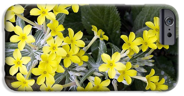 Northern Africa iPhone Cases - Primula Verticillata Flowers iPhone Case by Bob Gibbons