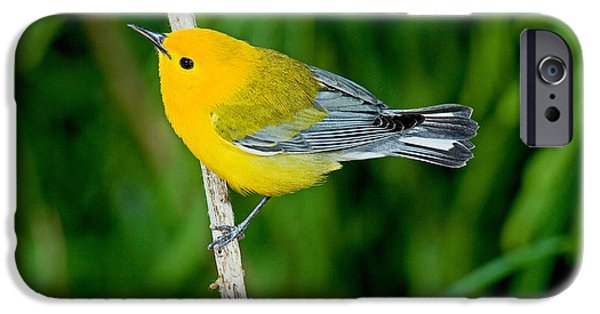 Warbler iPhone Cases - Prothonotary Warbler iPhone Case by Anthony Mercieca