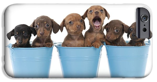 Mini Dachshund iPhone Cases - Puppies In Buckets iPhone Case by John Daniels