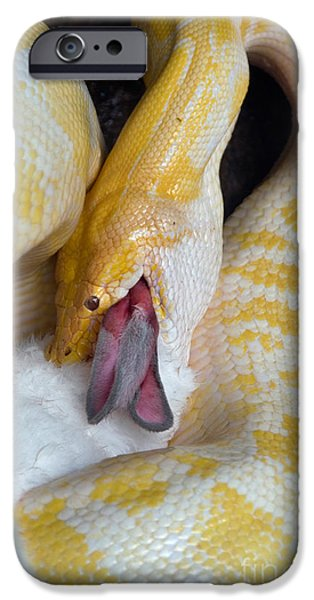 Burmese Python iPhone Cases - Python With Prey iPhone Case by Mark Newman