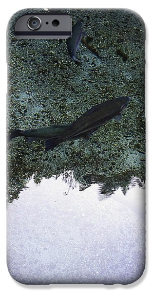 Rainbow trout iPhone Case by Les Cunliffe