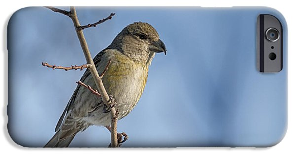 Crossbill iPhone Cases - Red Crossbill female iPhone Case by Jivko Nakev