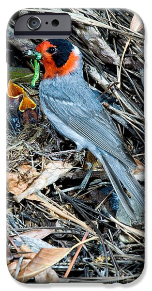 Feeds Chicks iPhone Cases - Red-faced Warbler At Nest With Young iPhone Case by Anthony Mercieca
