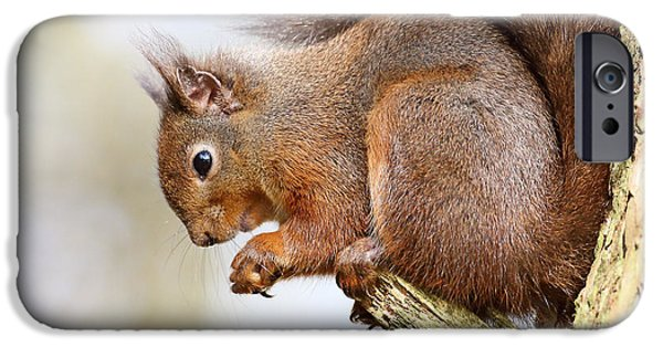 Bushy Tail iPhone Cases - Red Squirrel Portrait iPhone Case by Grant Glendinning
