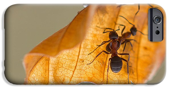 Mounds iPhone Cases - Red Wood Ants iPhone Case by Jivko Nakev