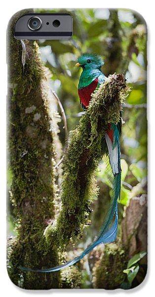 Vertebrata iPhone Cases - Resplendent Quetzal Male Costa Rica iPhone Case by Konrad Wothe