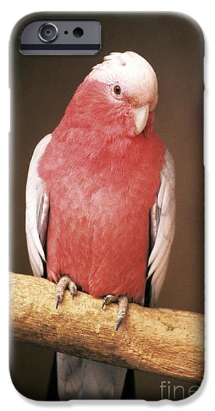 Recently Sold -  - Fauna iPhone Cases - Roseate Cockatoo iPhone Case by Chris Hellier