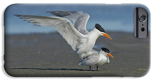 Birds iPhone Cases - Royal Terns iPhone Case by Anthony Mercieca