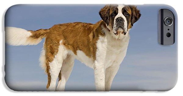 Dog In Snow iPhone Cases - Saint Bernard iPhone Case by Jean-Michel Labat