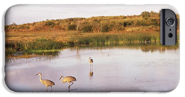 Fauna iPhone Cases - Sandhill Cranes Grus Canadensis iPhone Case by Panoramic Images