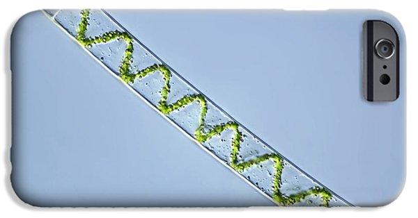 Alga iPhone Cases - Spirogyra Algae, Light Micrograph iPhone Case by Frank Fox