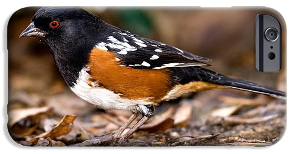 Fauna iPhone Cases - Spotted Towhee Pipilo Maculatus iPhone Case by Anthony Mercieca