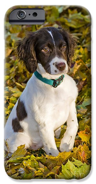 Cute Puppy iPhone Cases - Springer Spaniel Puppy iPhone Case by William H. Mullins