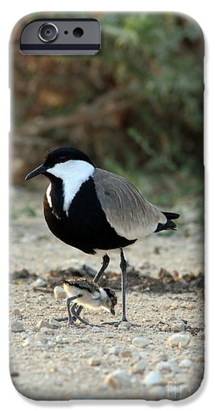 Lapwing iPhone Cases - Spur-winged Plover And Chick iPhone Case by PhotoStock-Israel