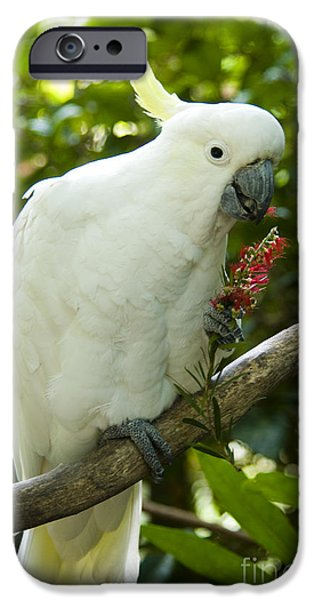 Cockatoo iPhone Cases - Sulphur-crested Cockatoo iPhone Case by William H. Mullins