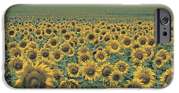 Sunflower Field iPhone Cases - Sunflower Field Andalucia Spain iPhone Case by Panoramic Images