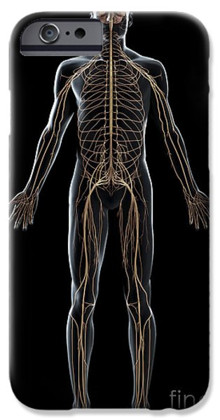 Sacral Plexus iPhone Cases - The Nerves Of The Body iPhone Case by Science Picture Co