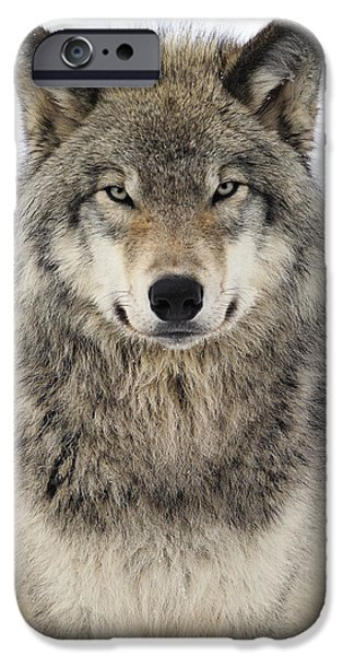 Canada iPhone Cases - Timber Wolf Portrait iPhone Case by Tony Beck