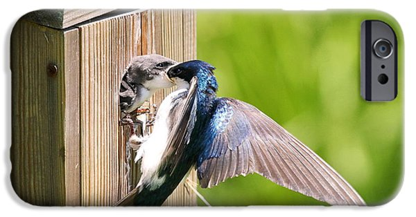 Swallow Chicks iPhone Cases - Tree Swallow Feeding Young iPhone Case by David Byron Keener
