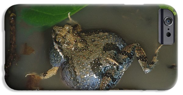 Anuran iPhone Cases - Tungara Frog Vocalizing iPhone Case by Gregory G. Dimijian, M.D.