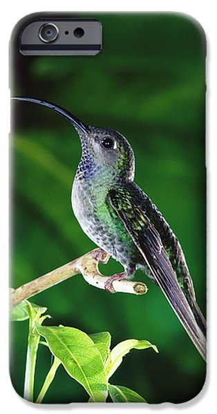 Violet Sabre-wing Hummingbird iPhone Case by Michael and Patricia Fogden