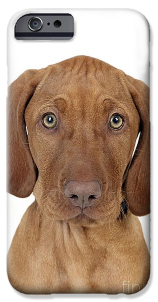 Dog Close-up iPhone Cases - Vizsla Puppy Dog iPhone Case by John Daniels