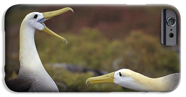 Wildlife Celebration iPhone Cases - Waved Albatross Courtship Display iPhone Case by Tui De Roy