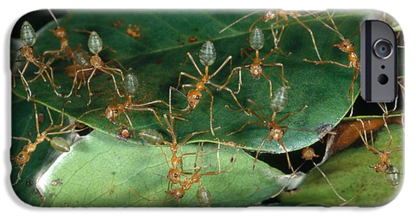 Ant iPhone Cases - Weaver Ants iPhone Case by Gregory G. Dimijian, M.D.