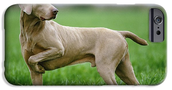 Weimaraners iPhone Cases - Weimaraner Dog iPhone Case by Jean-Michel Labat