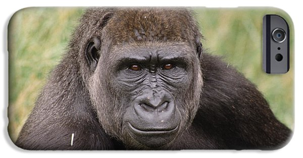 Gorilla iPhone Cases - Western Lowland Gorilla Young Male iPhone Case by Gerry Ellis