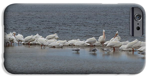 J N Ding Darling National Wildlife Refuge iPhone Cases - White Pelicans iPhone Case by Curtis Krusie
