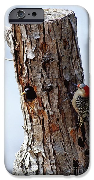 Woodpecker iPhone Cases - Woodpecker And Starling Fight For Nest iPhone Case by Gregory G. Dimijian