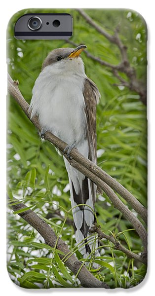 Cuckoo iPhone Cases - Yellow-billed Cuckoo iPhone Case by Anthony Mercieca