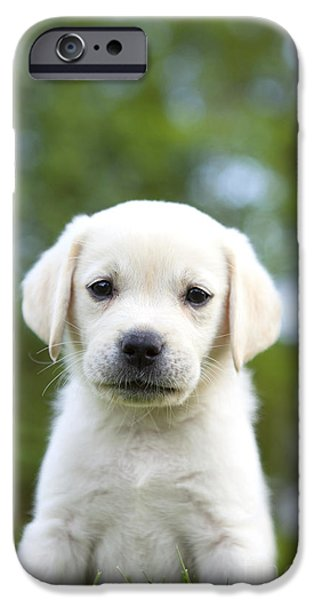 Yellow Labs iPhone Cases - Yellow Lab Puppy iPhone Case by Diane Diederich