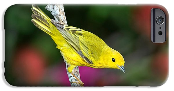 Fauna iPhone Cases - Yellow Warbler Dendroica Petechia iPhone Case by Anthony Mercieca