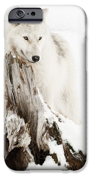 Arctic Wolf Pup iPhone Case by Wolves Only