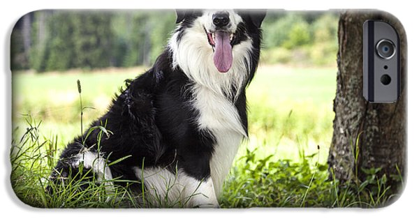 Loyality iPhone Cases - Border Collie in the nature iPhone Case by Regina Koch