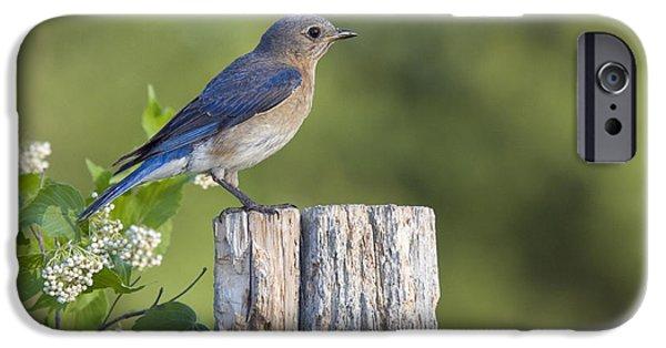 Fauna iPhone Cases - Female Eastern Bluebird iPhone Case by Linda Freshwaters Arndt