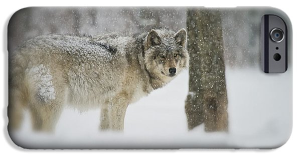 Wolf Picture Art iPhone Cases - Timber Wolf Pictures iPhone Case by Wolves Only