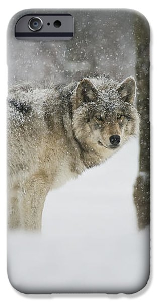 Timber Wolf Pictures iPhone Case by Wolves Only