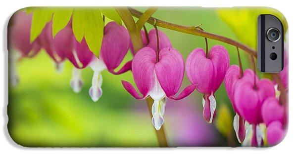 Bleeding Hearts iPhone Cases - Bleeding Heart - VanDusen Botanical Garden iPhone Case by May L