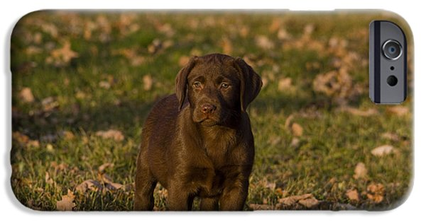 Chocolate Lab iPhone Cases - Chocolate Labrador Retriever iPhone Case by Linda Freshwaters Arndt