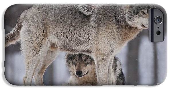 Wolf Picture Art iPhone Cases - Timber Wolves  iPhone Case by Wolves Only