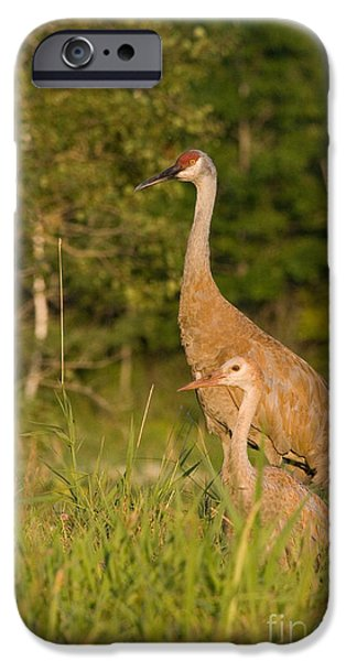 Feeds Chicks iPhone Cases - Sandhill Cranes iPhone Case by Linda Freshwaters Arndt