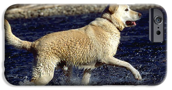 Water Play iPhone Cases - Yellow Labrador Retriever iPhone Case by William H. Mullins