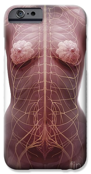 Sacral Plexus iPhone Cases - The Nervous System Female iPhone Case by Science Picture Co