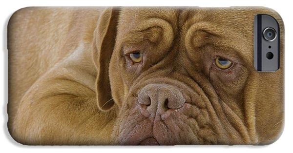 Dog Close-up iPhone Cases - Dogue De Bordeaux iPhone Case by Jean-Michel Labat