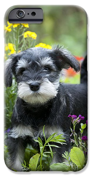 Cute Schnauzer iPhone Cases - Schnauzer Puppy Dog iPhone Case by John Daniels