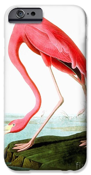 Wild Life Drawings iPhone Cases - American Flamingo iPhone Case by Celestial Images
