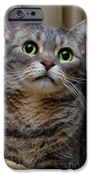 American Shorthair iPhone Cases - American Shorthair Cat Portrait iPhone Case by Amy Cicconi